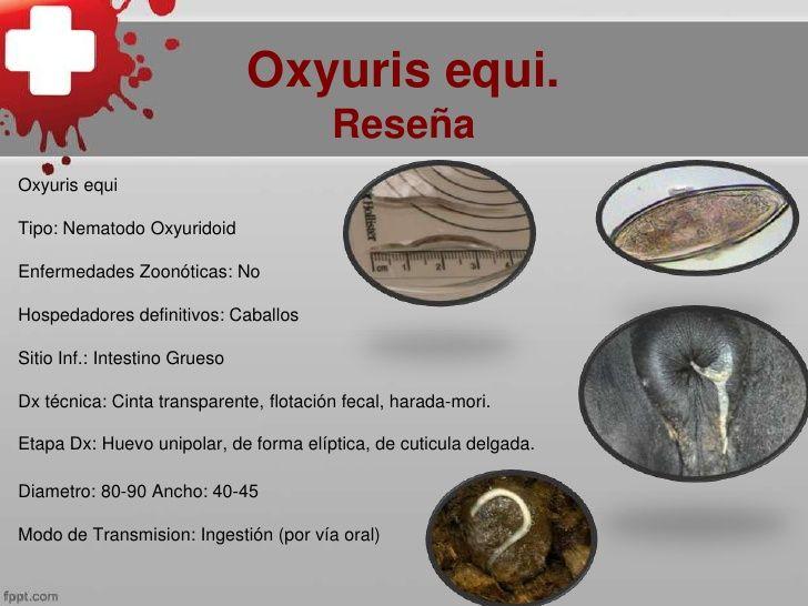 Az opisthorchiasis a helmintus