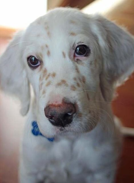 My future dog!!!!## english setter. (JR) Sasha would have looked like this as a babe  :)