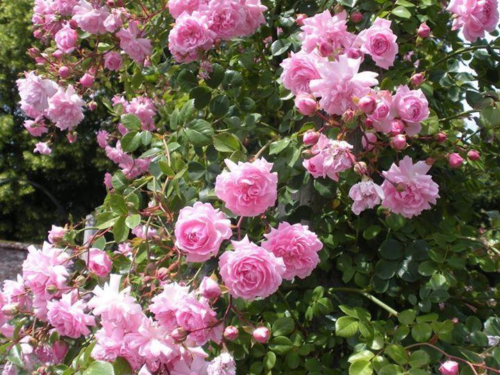 Die zart lila-rosa 'Débutante' entwickelt zahlreiche in Kaskaden herabhängende Büschel von kleinen zerzausten rosettenförmigen Blüten inmitten einer Fülle kleiner dunkelgrüner Blätter. An einem Obelisken oder einem Spalier wirkt diese bis zu 4 m hohe Pflanze besonders reizvoll.   Wunderschön nicht? Wir vermissen den Frühling schon!