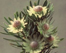 Scoly - Protea - Proteas and Leucadendrons - Flowers by category   Sierra Flower Finder