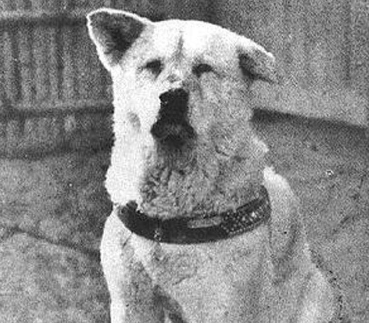 #ThrowbackThursday: Hachikō was an Akita dog born on a farm, November 10, 1923 near the city of Ōdate, Akita Prefecture, Japan. He is remembered for his remarkable loyalty to his owner which continued for more than nine years after his owner's death. #PetPoolWarehouse