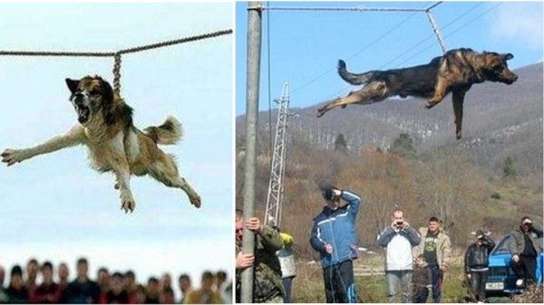 Terrified dogs hung by a rope and forced to spin at high-speeds in sick ritual! Act Now!
