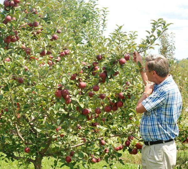 Empire Apple Tree