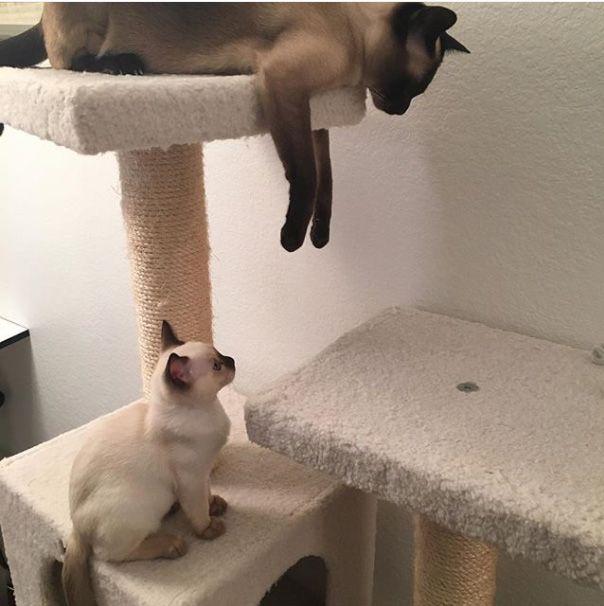 Tonka Stour and Razz - Tonkinese cats