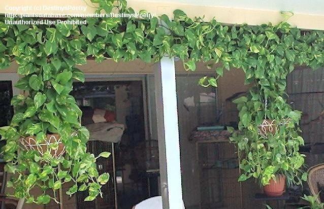 Full size picture of Devil's Ivy, Golden Pothos, Centipede Vine 'Marble Queen' (<i>Epipremnum aureum</i>)