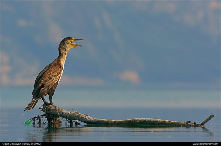Phalacrocorax carbo - Great Cormorant (taken with PENTAX K-5)