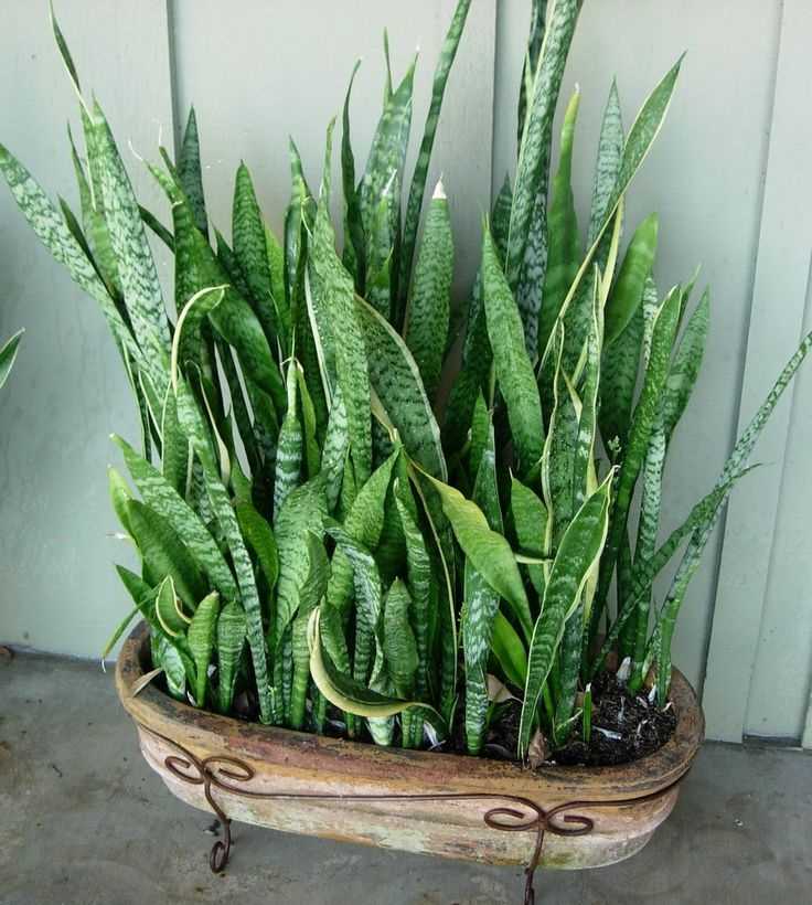 142 best snake plants images on pinterest mother in law tongue sansevieria trifasciata and. Black Bedroom Furniture Sets. Home Design Ideas