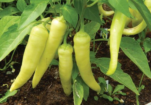 Sweet Banana Pepper Plants