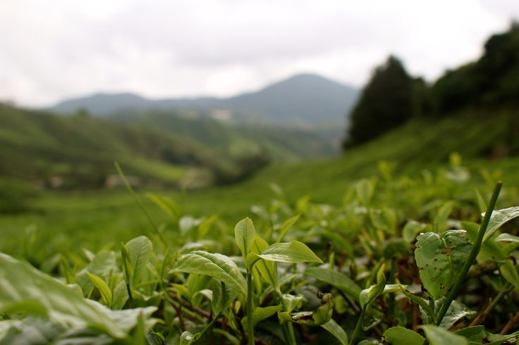 Tea For Two in the Cameron Highlands, Malaysia Travel Blog Post