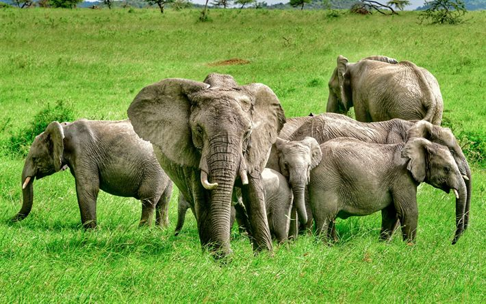 Download wallpapers Elephants, family, Africa, a herd of elephants, green grass, field, wildlife