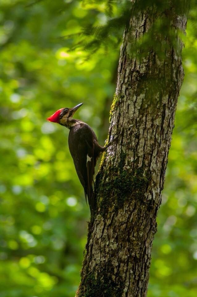I am lucky enough to watch this woodpeckers on a daily basis, I had 2 families grow up in our wooded yard now.