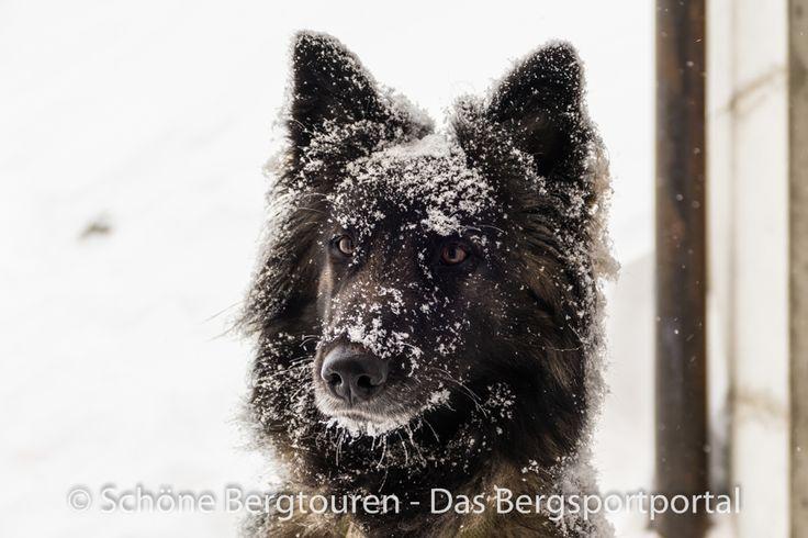 Ein Lawinenhund der Davoser Bergrettung am Jakobshorn - Foto: Mario Hübner