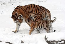 The Siberian tiger (Panthera tigris altaica), also known as the Amur tiger, is a tiger subspecies inhabiting mainly the Sikhote Alin mountain region with a small subpopulation in southwest Primorye province in the Russian Far East. In 2005, there were 331–393 adult-subadult Amur tigers in this region, with a breeding adult population of about 250 individuals.  The Siberian tiger is the largest living felid and ranks among the biggest felids that ever existed.