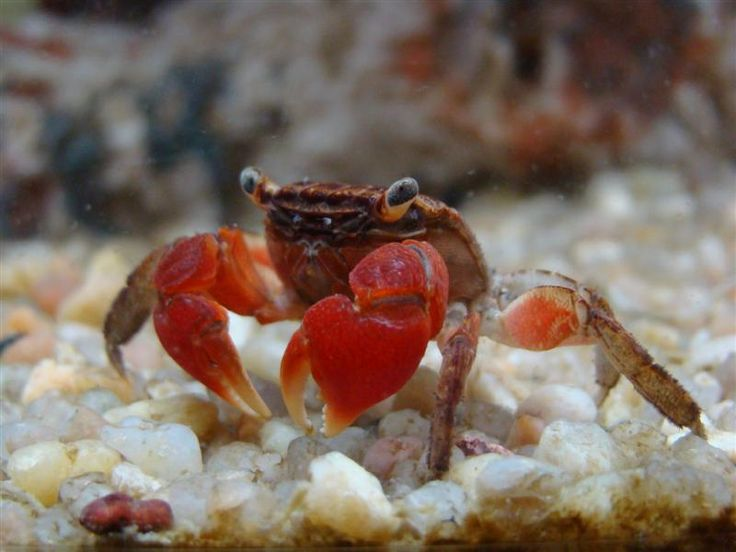 TROPICAL FISH :: crabs :: Red Claw Crabs - Tropical Fish By Post.co.uk : The UK's No. 1 Online Tropical Fish Store