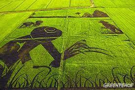 greenpeace rice field - Google Search