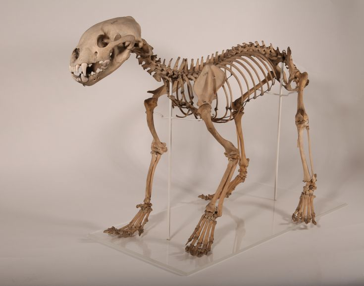 wolverine skeleton