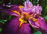 how to grow irises/ as a tribute to Grandma I will make a flower bed of these