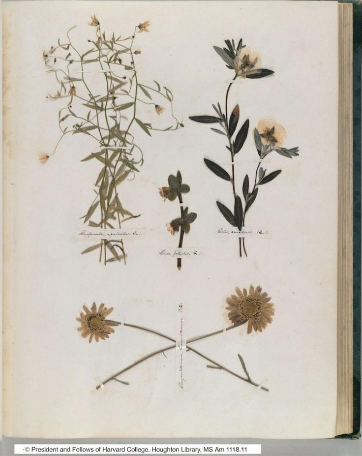 Pages from the herbarium, or homemade book of pressed plant specimens, compiled by a 14-year-old Emily Dickinson.