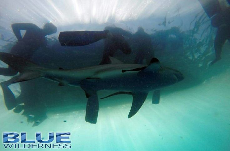 Our shark dive interns snorkel with some blacktip and dusky sharks #nocage