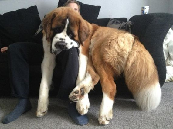 The St. Bernard is gentle with children and known to be quite sensitive. Beethoven, anyone?