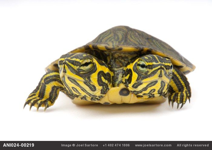 A two-headed yellow-belied slider (Trachemys scripta scripta) at Riverbanks Zoo. More information on how you can support the Riverbanks Zoo. About the Photo Ark.