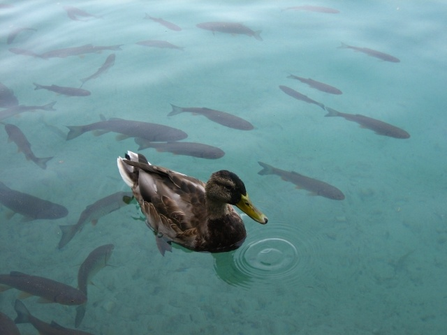 35 best plitvice lakes national park croatia images on pinterest duck and fishes at the plitvice lakes croatia httpadriaticaccommodation sciox Gallery