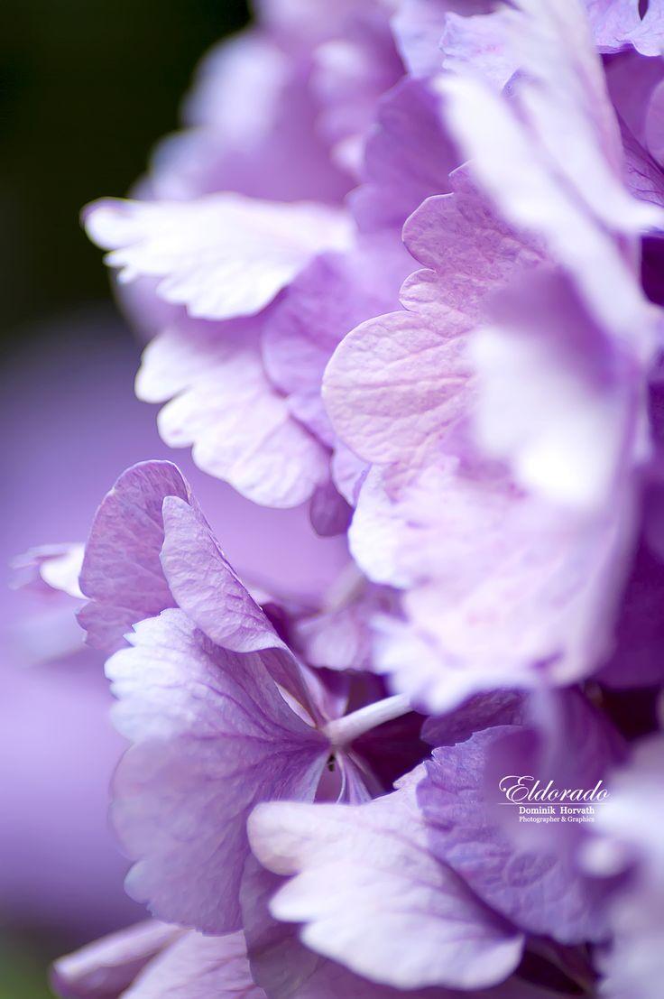 "My Facebook Fanpage Dominik ""Eldorado"" Horvath - Photographer & Graphics www.facebook.com/DominikHorvath.PhotoGraphics Photography, Graphics & Old Photo Repair Graphics  #eldoradothemeart  #flowers  #macrophotography"