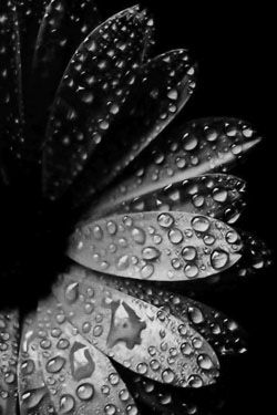 ☾ Midnight Dreams ☽  dreamy & dramatic black and white photography - dew: Blackgold, Black Flowers, Dew Drop, Raindrop, Black Gold, Black Beautiful, Dewdrop, Water Droplets, Rain Drop
