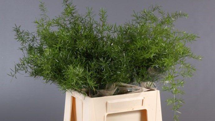 Asparagus sprengeri, Adomex, importeur & exporteur decoratiegroen / snijgroen