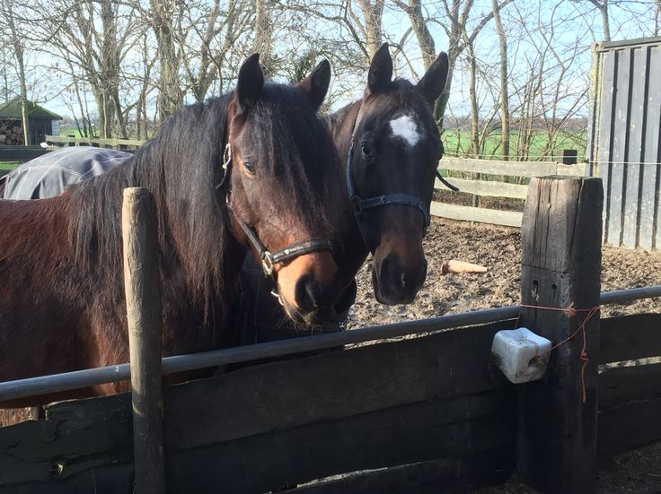 Hi there... #chill #sun #NoDoubt #horse #gelding #frisian #haflo