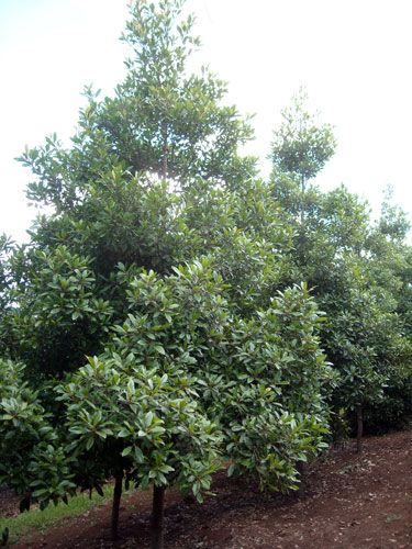 Elaeocarpus reticulatus 'Prima Donna' tm - Blueberry Ash Small Tree: 4 to 8 metres Columnar Shape