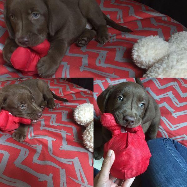 ¡Alguien Esta Estrenando Cama para Exteriores Impermeable de PetPlay y su Marciano de Regalo!  :::::: #Puppy #Love #puppyLove #Labrador #DogsOfInsta #ChocoLab #PicOfTheDay #Collage #Juegacontuperro #Dog #Dogs ::::::: Encuentra esta cama en varios colores: https://www.latiendadefrida.com/collections/camas-para-perros-1/exterior