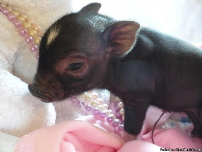 Teacup Pigs for Sale | Micro / Miniature / Teacup pigs for sale - Price: 1850.00 in ...