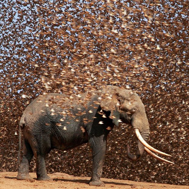 A jumbo-sized cloud of tiny birds called red-billed queleas surrounds an elephant at the Satao Camp water hole in East Tsavo, Kenya. Photographer Antero Topp.