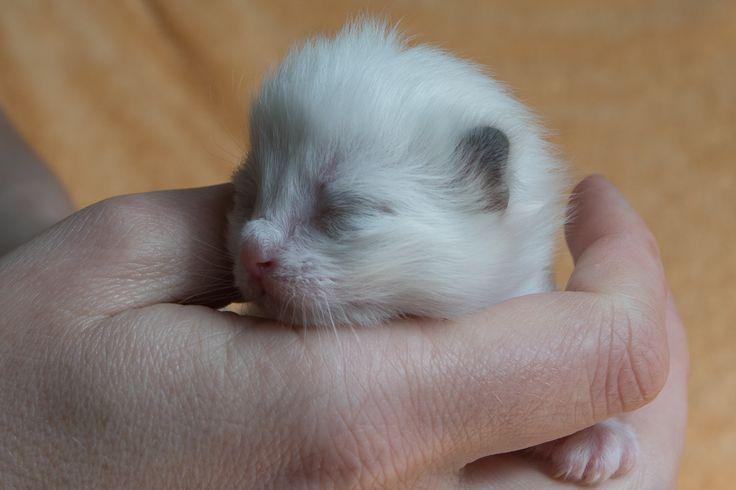 1 week oud. Ragdoll
