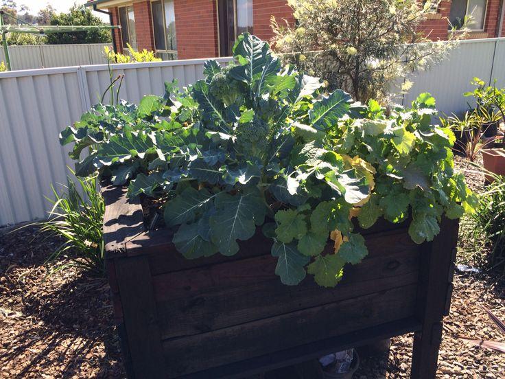 Vege bed. Self watering garden bed