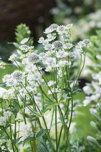 """White flowers of Astrantia 'Star of billion"""""""
