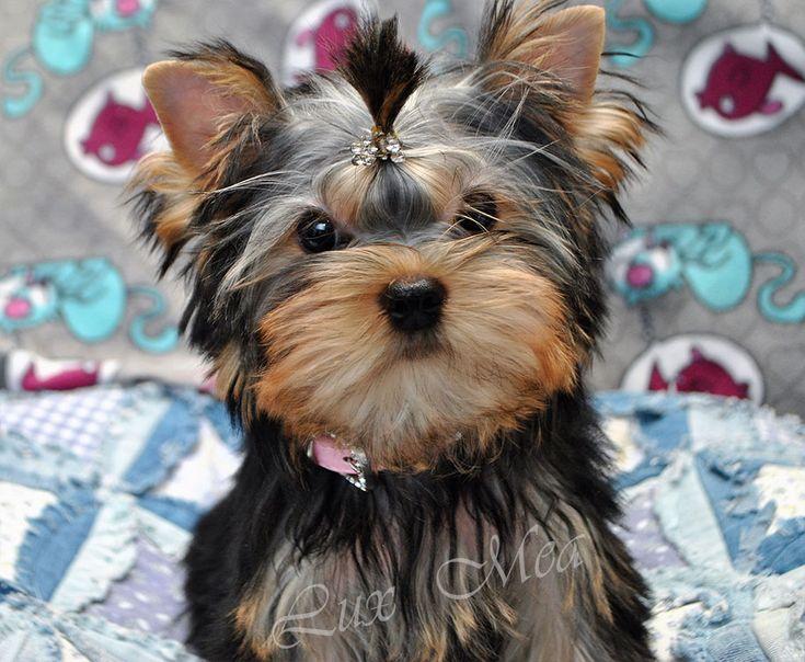 Купить щенка йоркширского терьера с кукольной мордочкой в питомнике