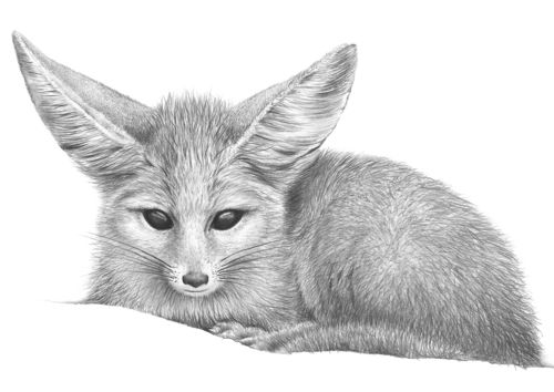 Nkiru the Fennec Fox by Andrew Howells, Australian Artist via Stampede Style