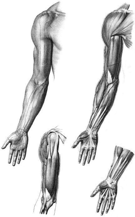 любят друг картинки мышцы человека руками сделанный пластика