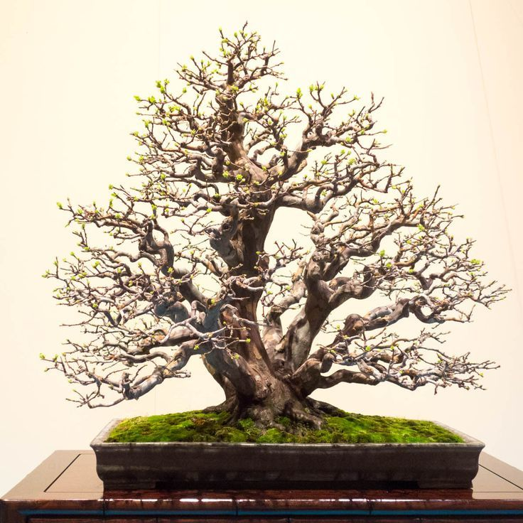 17 Best Images About Bonsai On Pinterest Trees Sequoia