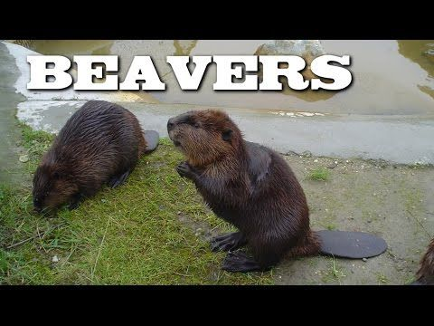 All About Beavers for Children: Animal Videos for Kids - FreeSchool - YouTube