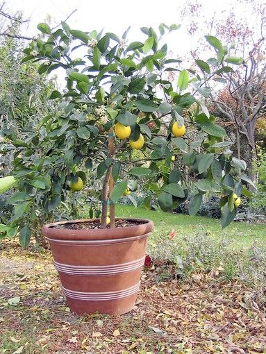 17 best images about lemon tree on pinterest planters for Growing a lemon tree in a pot from seed