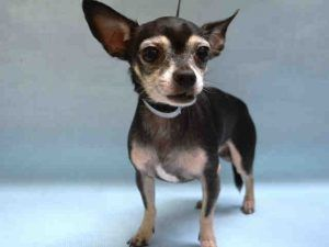 07/16/2017 SUPER URGENT ADOPT senior Marshall - to be destroyed NYC. Tiny 11 year old, in tact male, tense nervous and shaking in scary noisy shelter but allowed handling, healthy but needs dental work. Intake date 07/14/17, due out date 07/17/2017.