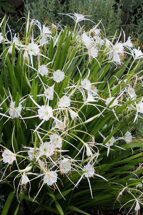 38 best strappy plants images on pinterest garden plants hymenocallis pimana altavistaventures Choice Image
