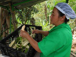 PATACONES EL PLATANAL Cultivamos el plátano en Alejandria y San Rafael Ant: PATACONES PRE COCIDOS FABRICAMOS A GRANEL PARA RES...