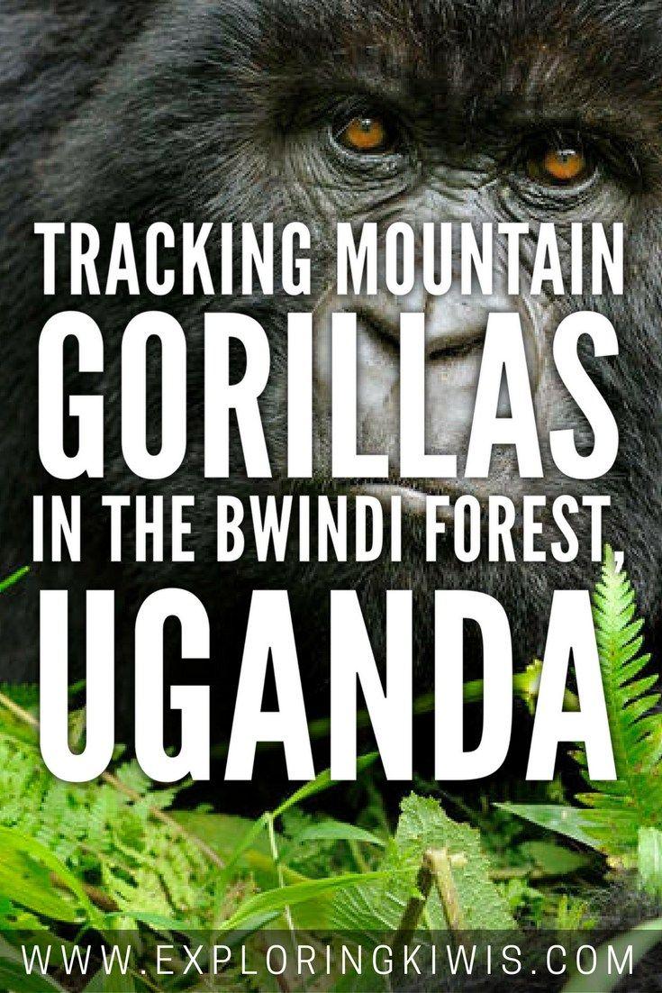Tracking Gentle Giants: Gorillas in the Highlands of Uganda - Exploring Kiwis