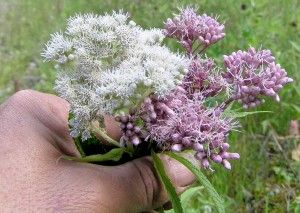 Eupatorium perfoliatum, Eutrochium maculatum - The Eupatorium Story; Joe Pye Weed, Boneset and White Snakeroot