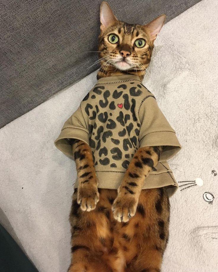 """Maxim le chat bengal (@maxim_the_bengal) est un #coeuraveclesdoigts sauvagement mignon! Il est né avec une petite anomalie, une courbure de la colonne vertébrale. Mais cela n'a affecté ni sa croissance, ni sa santé. """"L'amour fait des merveilles, explique son propriétaire, Lyubov. La seule chose qui trahisse sa singularité, c'est sa démarche. Il balance les hanches comme une fille quand il marche, et c'est si mignon! Comme il est originaire de Kazan, nous voulions lui donner un nom tatar…"""