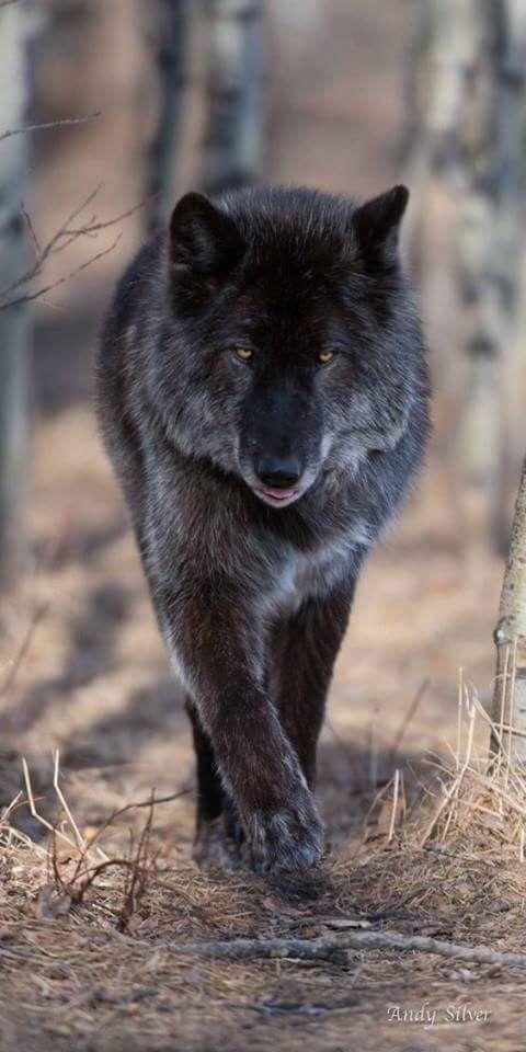 Adaptación Como los lobos de color negro son más frecuentes en las zonas boscosas que en la tundra, los biólogos que han investigado el tema han concluido que este melanismo constituye una adaptación de esos lobos a su hábitat. El propósito exacto de la mutación aún no ha sido identificado, pero el Dr. Barsh descartó el camuflaje, ya que los lobos tienen pocos depredadores naturales, y no hay evidencia de que una capa de color negro lleve a un aumento de las tasas de éxito en la caza.